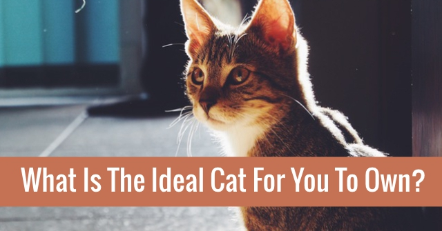 What Is The Ideal Cat For You To Own?