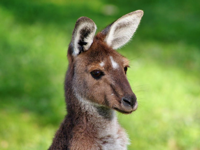 Have you ever seen a kangaroo in real life?