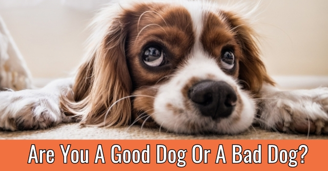 Are You A Good Dog Or A Bad Dog?